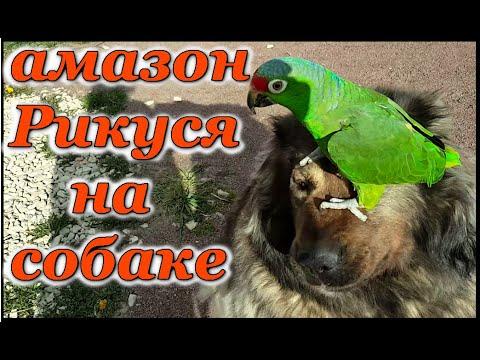 Видео: Попугай Амазон Краснолобый Рикко гуляет с кошкой и собакой