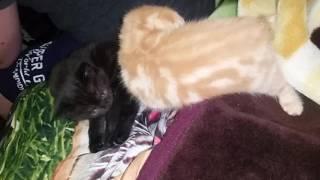 Шотландские  котята Скоттиш  фолд  и страйт в якутске