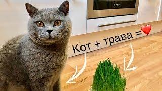 БРИТАНСКИЙ КОТ/ НУЖНА ЛИ КОТУ ТРАВА?/ British cat Harry