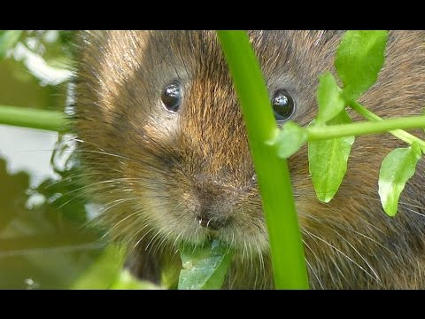 'Shy Vi' the wild water vole living up to her name!