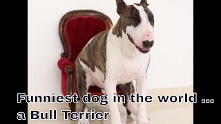 English Bullterrier what to expect owning one honest truth