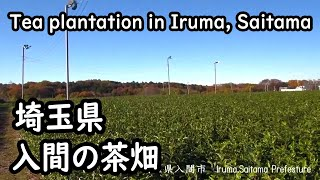 埼玉県入間市の茶畑 Tea plantation in Iruma,Saitama Prefecture