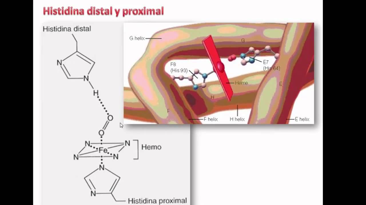 Origen Y Estructura De La Hemoglobina