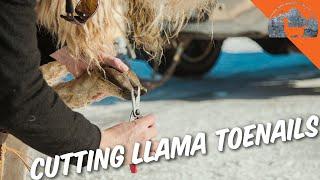 Trimming LLAMA Toenails? Ep.61  Llama Life