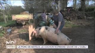ANIMAUX : Le Porc de Bayeux, le cochon normand sauvé de l'oubli