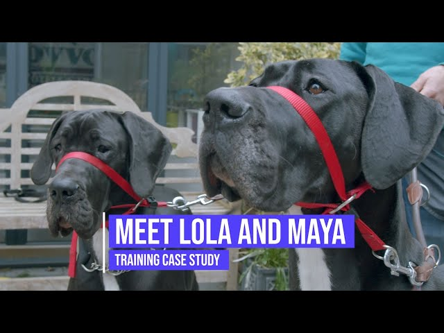 Helping two Great Danes control their excitement and reactive behaviour towards other dogs