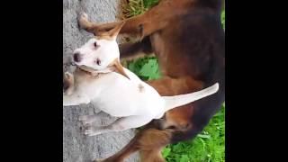 Big hunk dog mates tiny doggie!