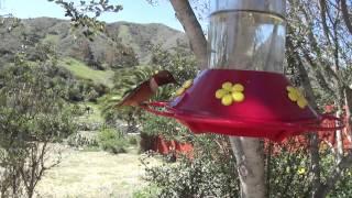 Anna's/Allen's Hummingbirds at Feeder
