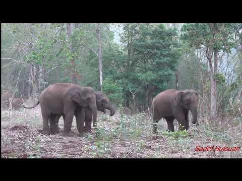 ช้างป่าทองผาภูมิ ถ่ายโขลงช้างแบบวัดใจคนกับช้าง เหมือนจะคุยกันรู้เรื่อง