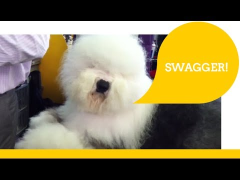 Old English Sheep Dog - SWAGGER!