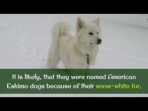 13 Facts You Should Know About American Eskimo Dog