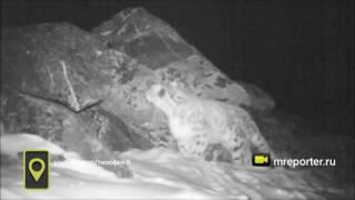 Весь мир узнал, как рычит снежный барс, благодаря видеоловушке в Бурятии