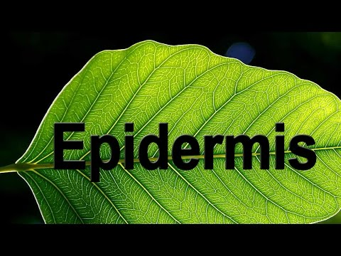 Epidermis in Plants | Biology | Science | Letstute
