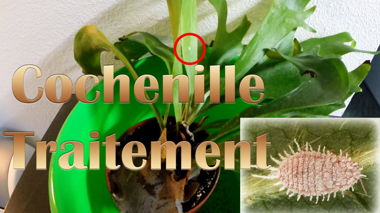 Traitement cochenille youtube for Aphtes remede maison