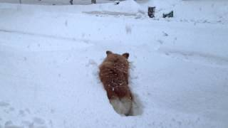 Stumper: Failing In The Snow By Frankie The Fluffy Corgi
