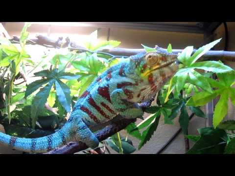 Panther Chameleon- Mmmm Worms!