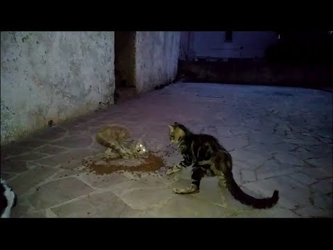 STRAY CATS FIGHTING OVER FOOD