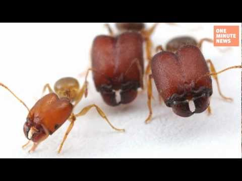 Science Makes Genetically Modified Supersoldier Ants