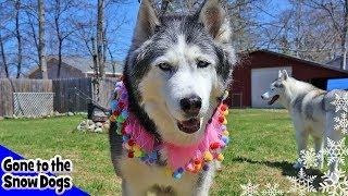 Happy Birthday Oakley the Husky 14 Years Old