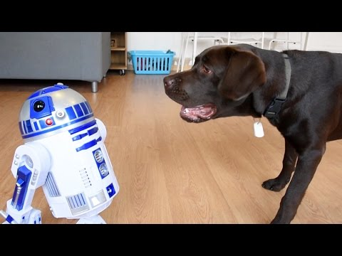 Labrador Plays Chase With R2D2