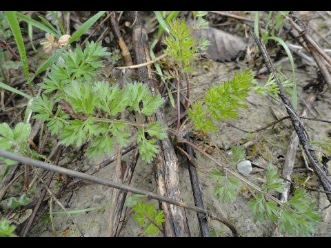 Съедобные растения. Тысячелистник благородный / Achillea nobilis