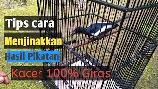 Cara Menjinakan Burung Kacer Giras Hasil Pikatan Hutan Youtube
