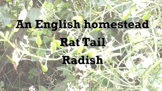 What is a rat tail radish?