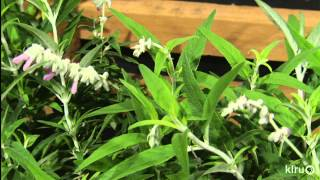 Drought plants that stand out|Vivero Growers Nursery|Central Texas Gardener