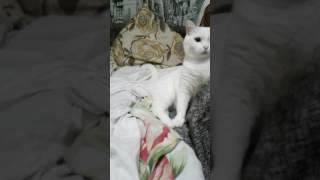 """Играем с надоедливым котом """"беляшом"""" это его имя да"""