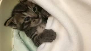 人間の赤ちゃんみたいに寝る子猫^._.^癒し動画