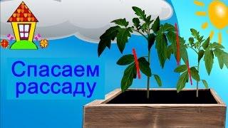 Рассада помидор вытянулась, что делать? Два эффективных приема против вытягивания.