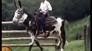 Burro Mamut, Burro Gigante (Criador German Velez Ochoa) - TvAgro por Juan Gonzalo Angel thumbnail