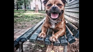 The Staffordshire Bull Terrier - The Real Life