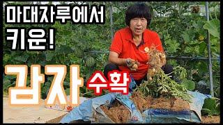 감자를 집에서도 키울수있다!? 감자 수확 - 주말농장 …