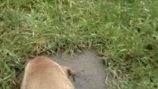 Rottweiler Cross Staffy Pup Jess