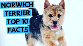 Norwich Terrier  TOP 10 Interesting Facts