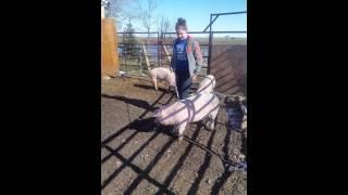 bar fx pigs