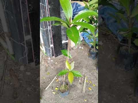 ขายต้นชมพู่มะเหมี่ยว
