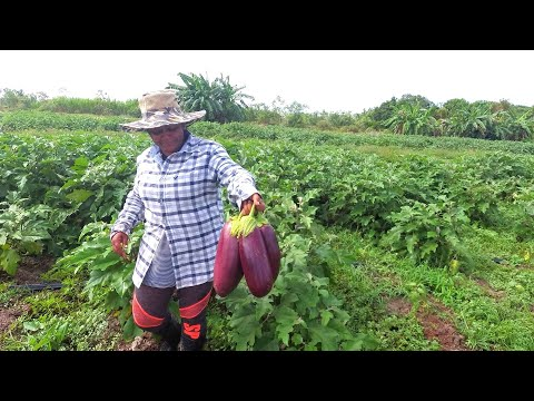 Tour of a Commercial Farm in Guyana.