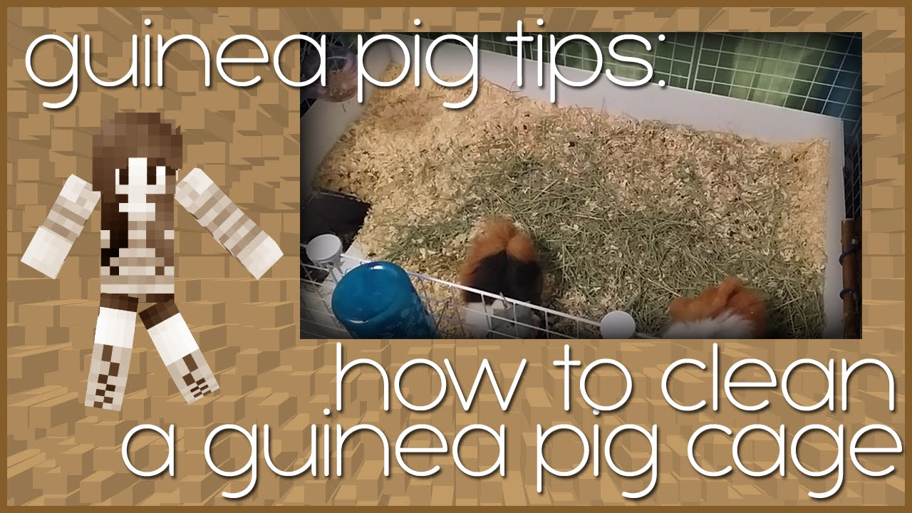 Guinea pig how to clean their cage youtube