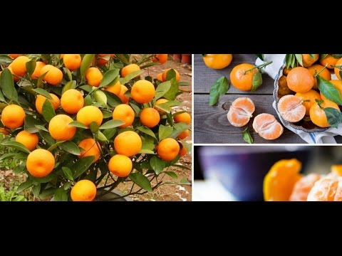 Great things about Tangerines