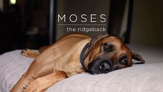 Dog days! Day in the life of my Rhodesian Ridgeback Moses.
