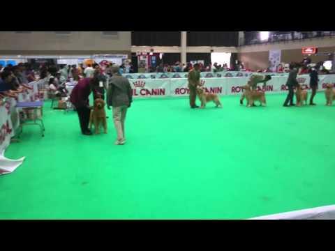 Champion Male Class Golden Retriever at Asia Pasific Dogshow 2016 Indonesia