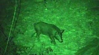 Piglet Kill Light Green Bow Light Hunt