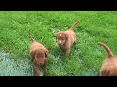 6 Week Old Toller Pups Learning To Swim.