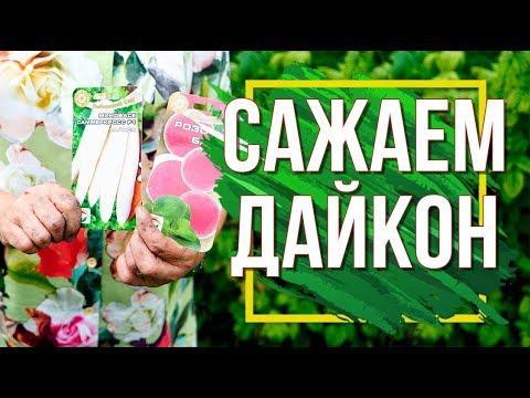 Пора Сажать Дайкон  ✔️ Когда Сеять Дайкон ✔️ Что посадить в Августе   выращивание   посадить   дайкона   августе   сажать   посева   китайс   дайкон   гарден   сроки