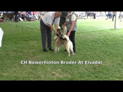 East of England Championship Show - Elkhounds 2017