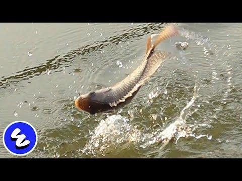 MEMANCING BANYAK IKAN DALAM WAKTU CEPAT -  UMPAN LUMUT (ALGAE) + ESSEN (OIL FISHING)