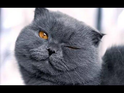 . Шотландские, вислоухие, британские, бенгальские, персидские коты, мейн -куны по доступным ценам. Купите породистого котенка недорого на юле.