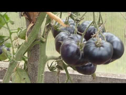 Высокоурожайные экзотические томаты черная прелесть и кавказская лиана